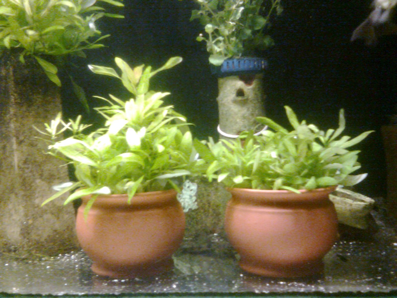 Acuarios decorpez plantas para pecera for Plantas de acuario