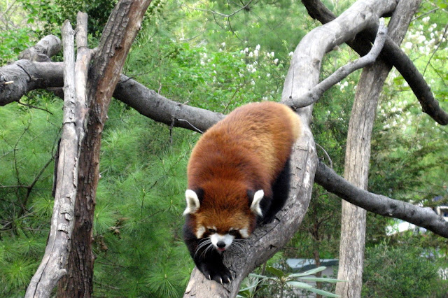 NYC - Brooklyn - Prospect Park Zoo: Discovery Trail - Red Panda by wallyg from flickr (CC-NC-ND)