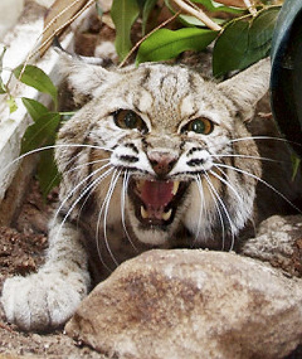 Bigfoot Evidence: Hunter Shoots Video Of A Bobcat ...