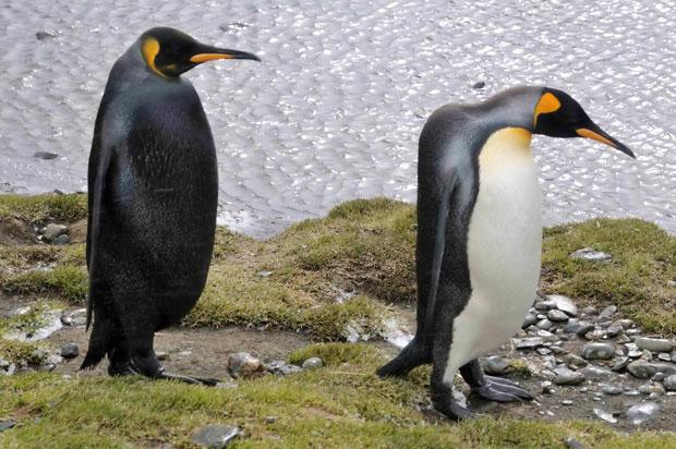 بالأسود أحلى حيوانات سوداء ولكنها جميلة melanistic-king-peng