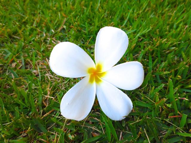 white Plumeria flower hawaii kauai grass lawn tropical plant