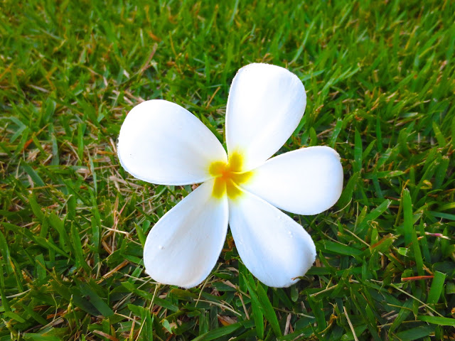white Plumeria flower hawaii kauai grass lawn tropical plant