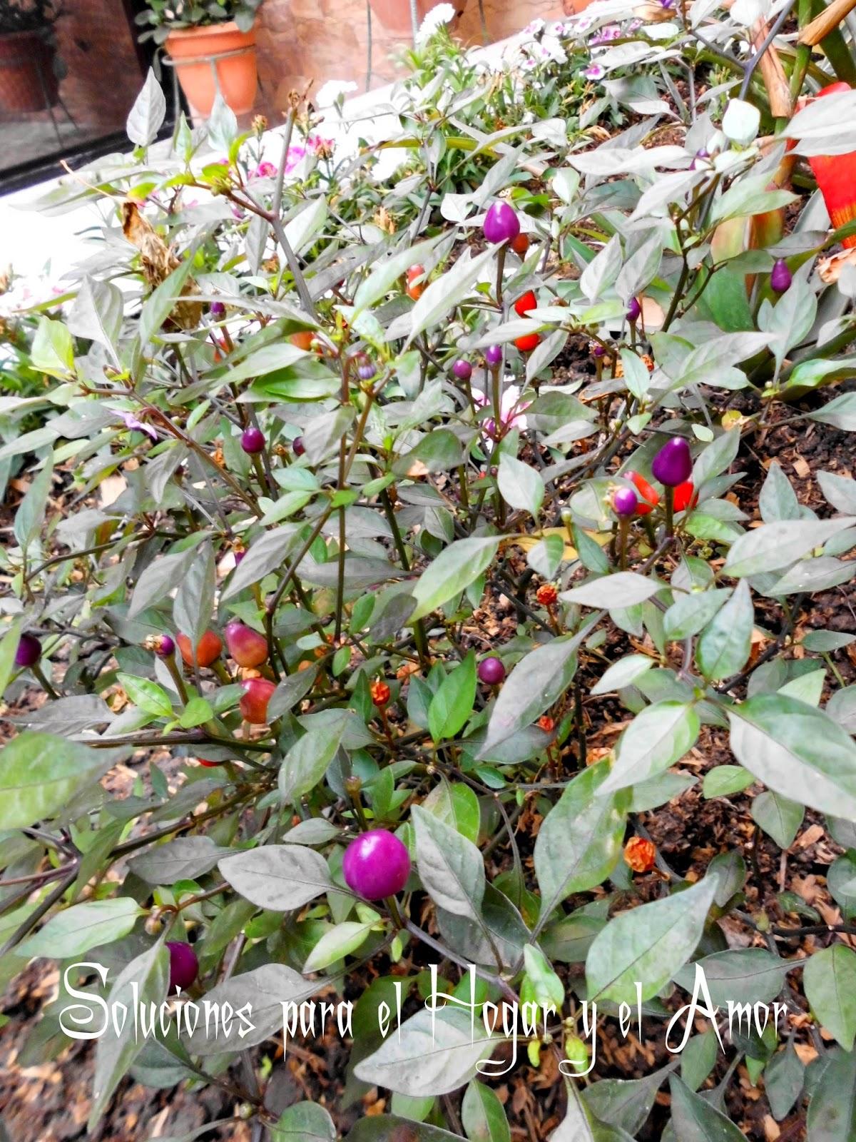 Plantas y Flores, Ají Morado, Ají rojo, Chile morado, chile rojo