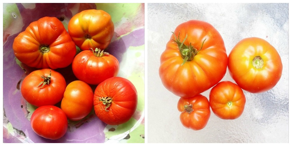 Huerta organica - Tomates redondos