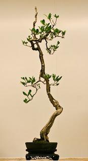 contoh bentuk bonsai dalam foto