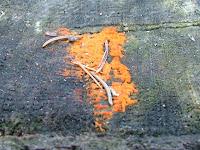 Dacrymyces stillatus
