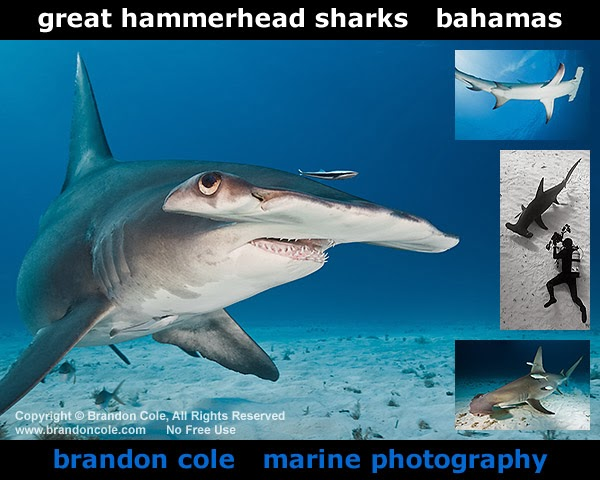 new underwater photos of Great Hammerhead Sharks from Bimini Bahamas by Brandon Cole