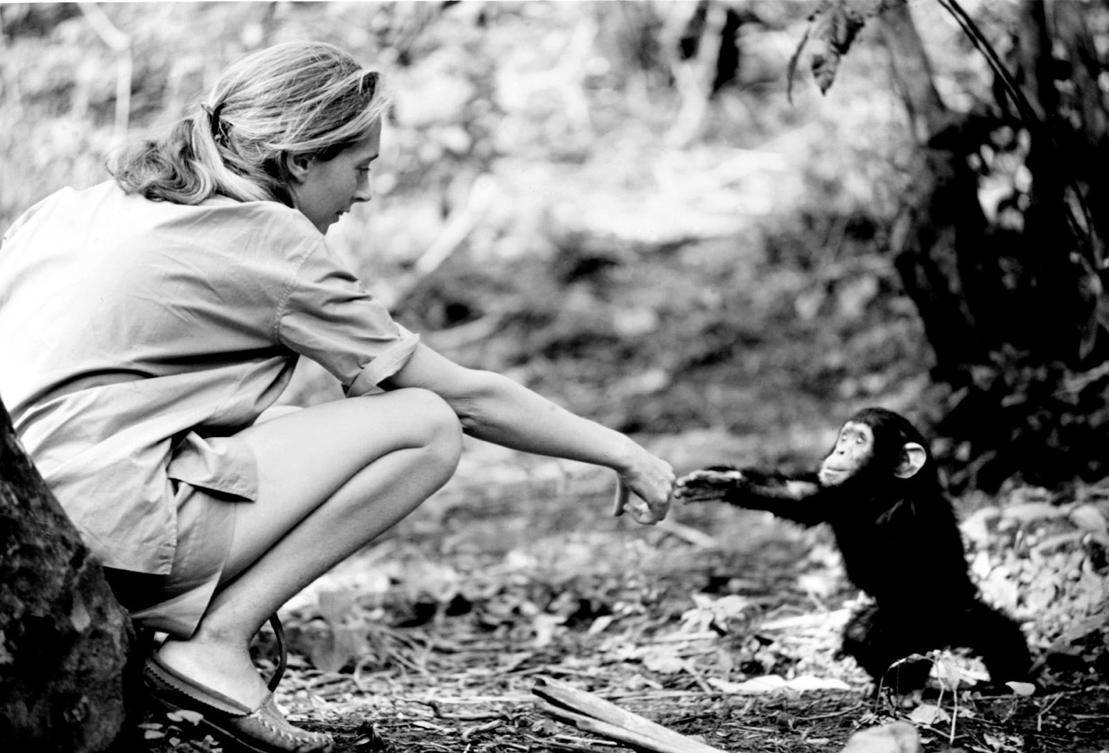 jane goodall 'jane' review: jane goodall's life and career receives a glowing tribute in brett  morgen's documentary culled from lost footage of her work with.