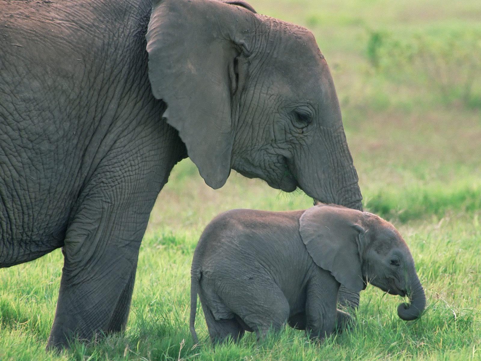 Hình ảnh voi con đẹp