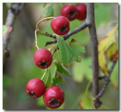 Autumn Berries6