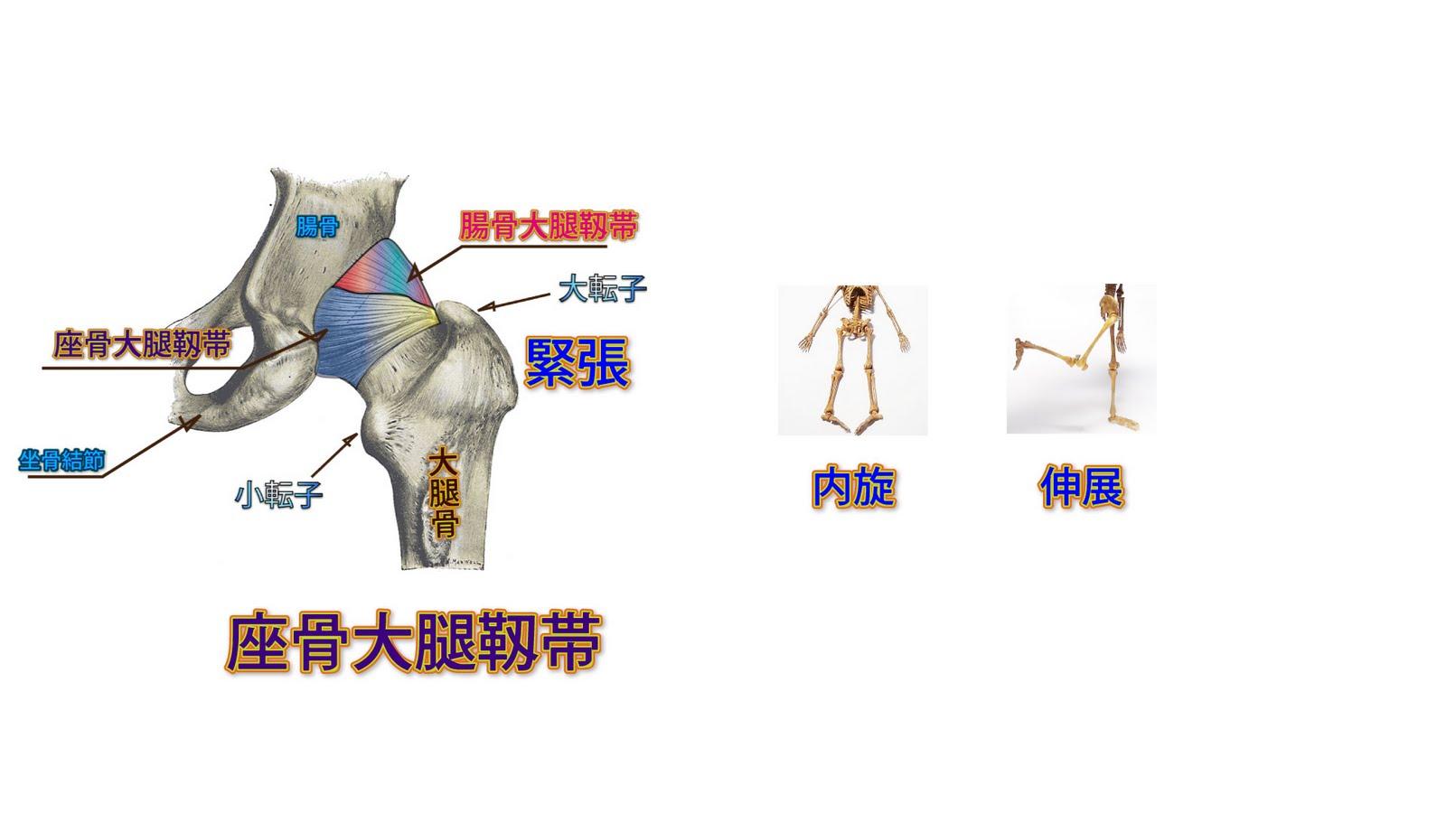 靭帯 大腿 骨頭