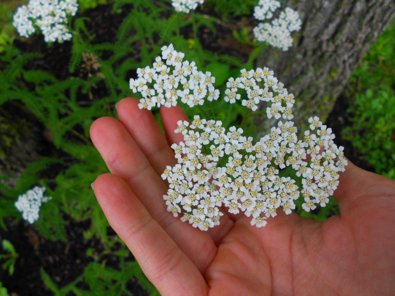 Moonflower Musings Yarrow A Remedy For The Wounded Healer