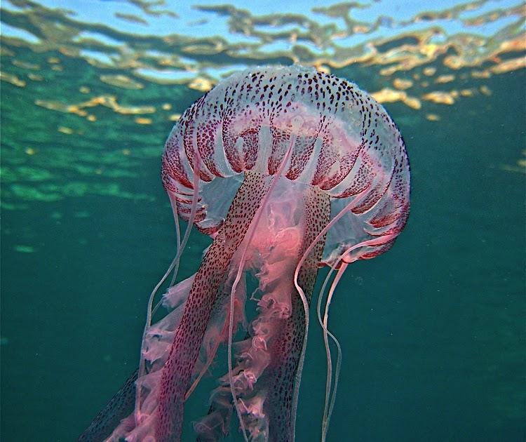 Las medusas, mejor con vinagre.