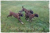 Boxergeschwister, Apollo, Amy und Baxter