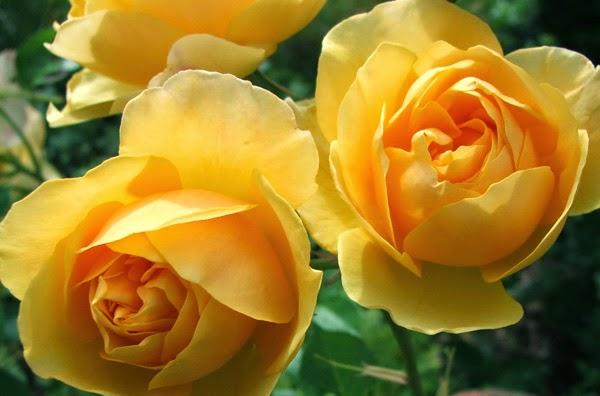 مدونة عالم الشهرة وردة رمز الغيرة اجمل الورود الصفراء