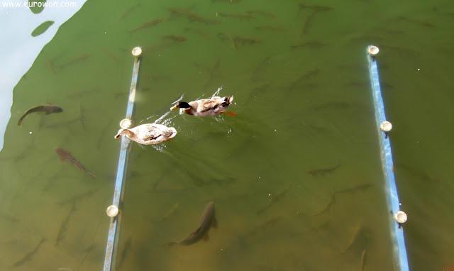 Patos y peces en un lago de Seúl