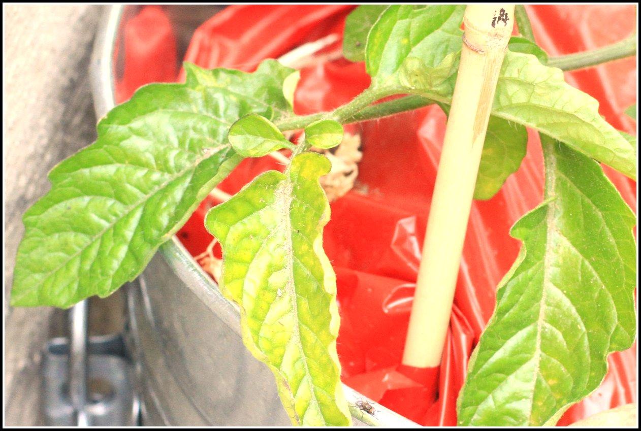 comment faire sure tomate blossoms portent leurs fruits