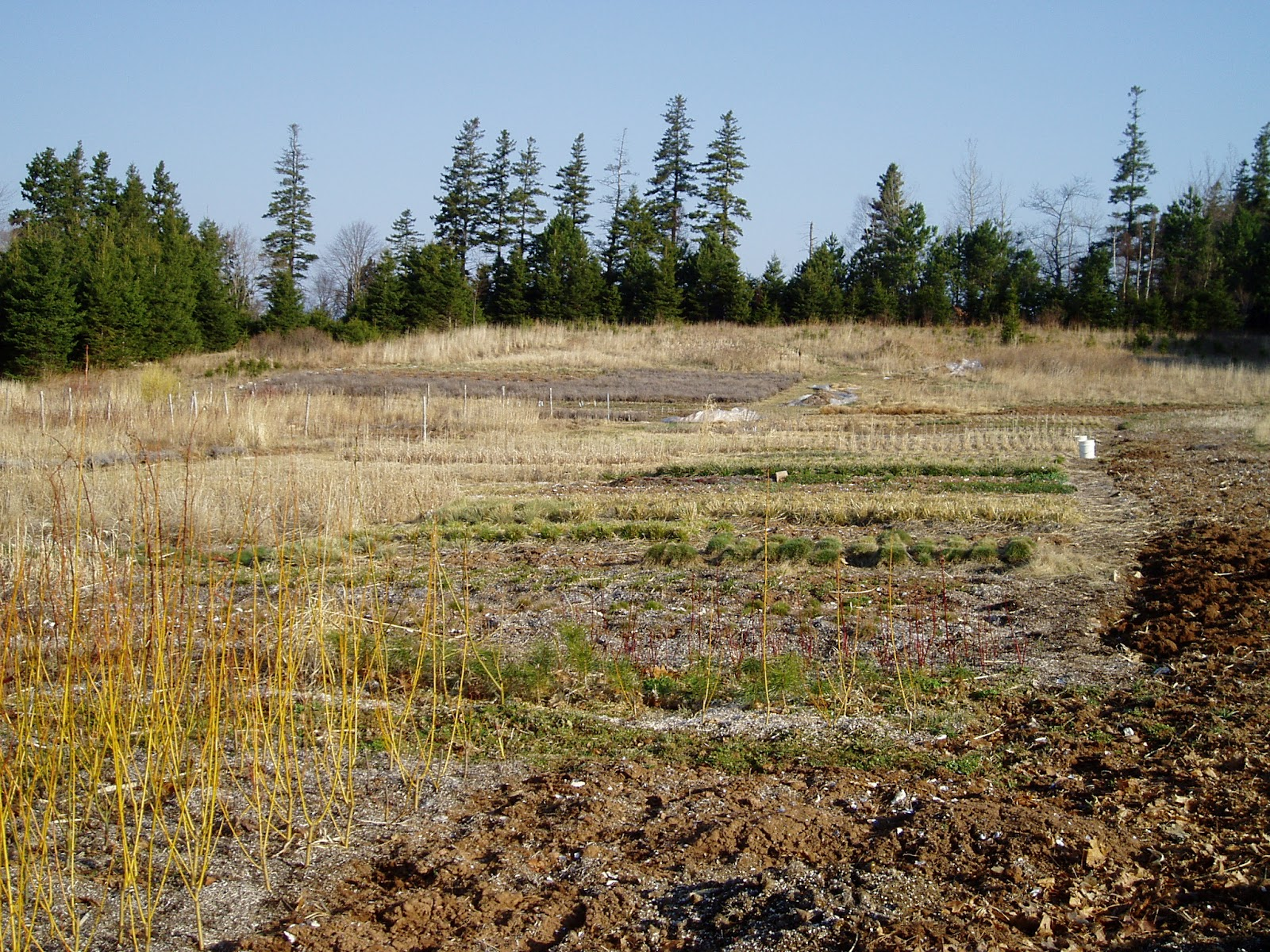 Ornamental Grasses Upstate Ny : Lovegrass farm trimming back ornamental grass at