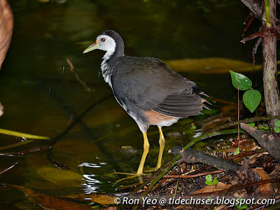 White-breasted Waterhen (Amaurornis phoenicurus)