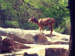 Rusa Deer also known as Sambar Deer