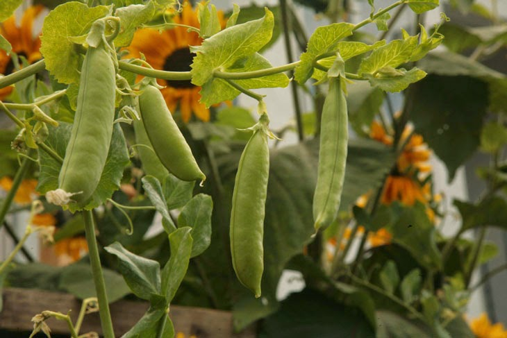 Yes peas. - He Started With Some Boxes, 60 Days Later, The Neighbors Could Not Believe What He Built