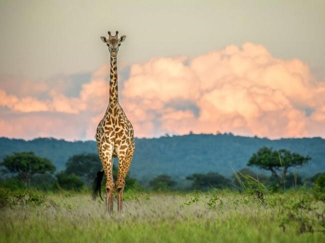«Я сидел на траве и фотографировал закат, как вдруг услышал позади какой-то шум. Я повернулся и увидел этого жирафа, который замер на мгновение, прежде чем повернуть в сторону холмов». Питер Стенли