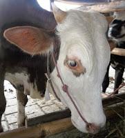 harga sapi qurban kurban kambing 2013 j