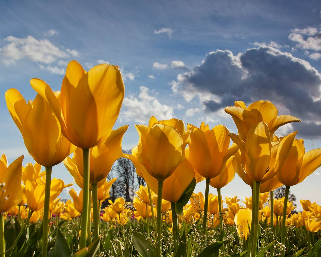field of yellow tulips from beneath