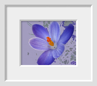 The vibrant indigo blue of a spring crocus macro finds itself on a modern background of complimentary colors.