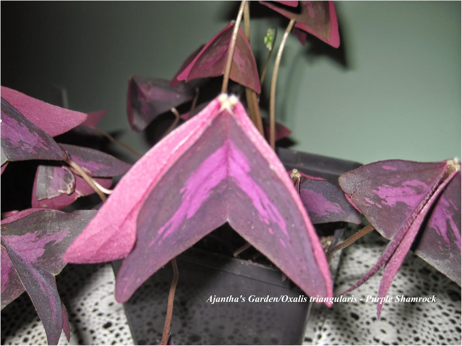 Oxalic triangularis - Purple Shamrock