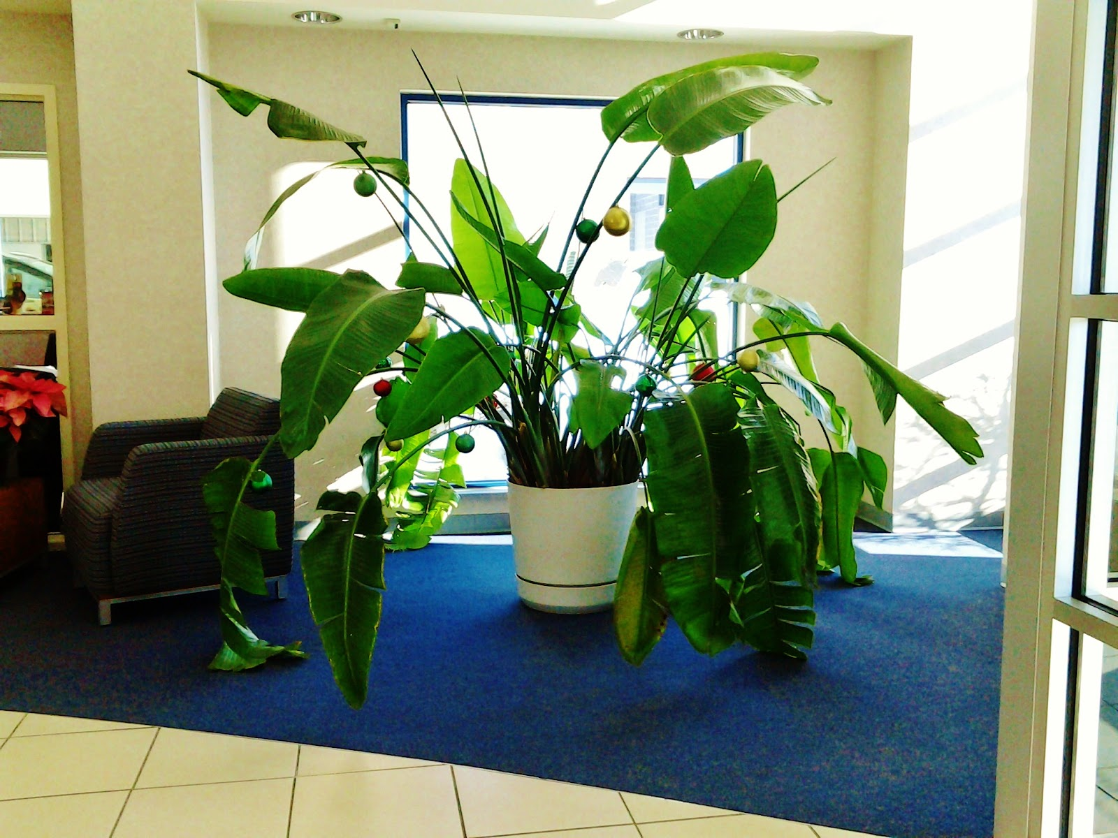 Boyett bandwagon the great grandma of indoor potted plants - Great indoor houseplants ...