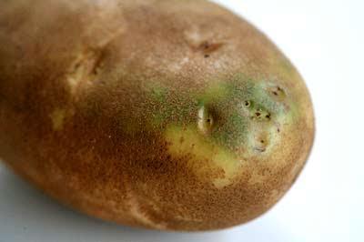 احذروا من البطاطس الخضراء green-potato-1.jpg