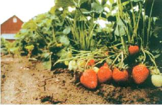 Beberapa tanaman stroberi pertumbuhannya dipengaruhi oleh iklim.