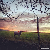 Sheep sunrise
