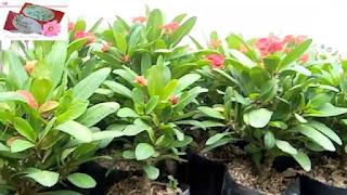 Bunga euphorbia (Euphorbia milii)   supplier tanaman hias   tukang taman dan tanaman