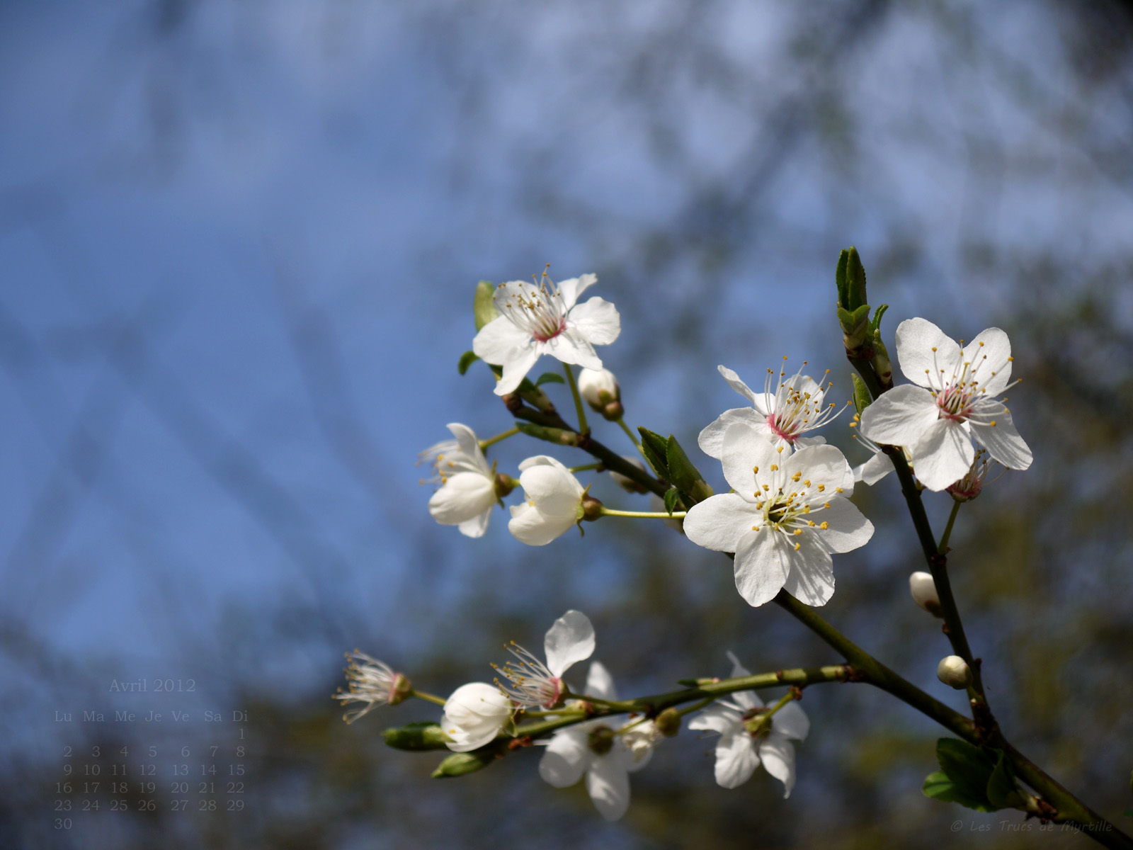 Les trucs de myrtille fonds d 39 cran avril 2012 avec et - Fleur commencant par t ...