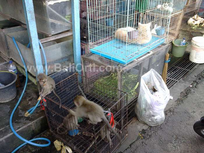 Monkey for sale in Satria Bird Market Denpasar