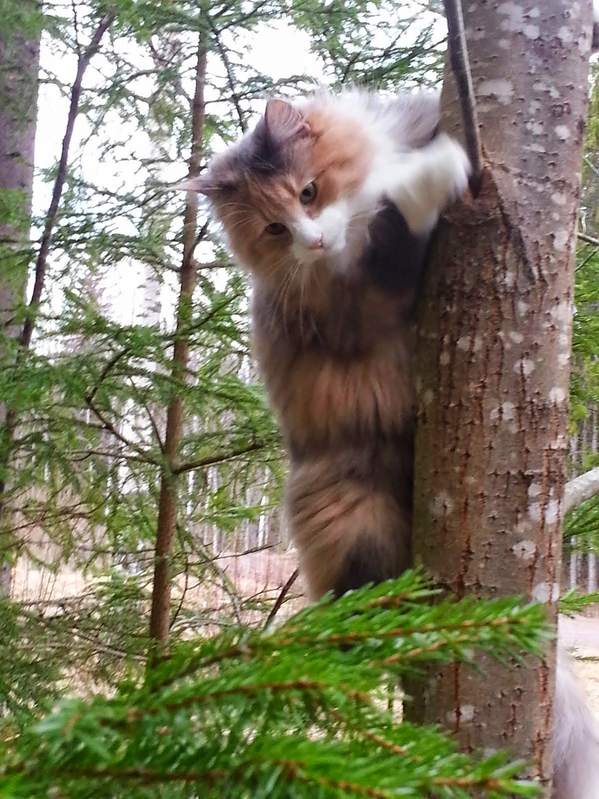 My Wonderful Forest Cat