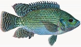 umpan mancing ikan nila liar,cara mancing ikan nila besar,cara mancing ikan nila gif,resep umpan mancing ikan nila,mancing ikan nila 2015,umpan mancing ikan nila malam hari,
