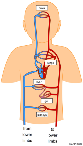 Kidney Diagram In Human Body also Body Parts Stomach Stomach Body Parts Pre School Learn Spelling Videos For Kids as well Anatomy Pictures Of The Wrist moreover Labeled Structure Of Ovary Anatomy Human Ovary Labeled Stock Illustration 166170095 as well Human Anatomy Liver And Spleen 2. on human body circulatory system diagram