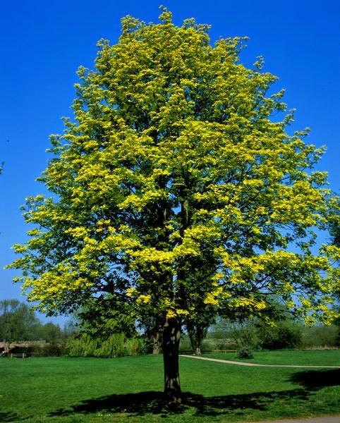 Majalah Pearl Blog: Pohon Ara dan Salib Kristus