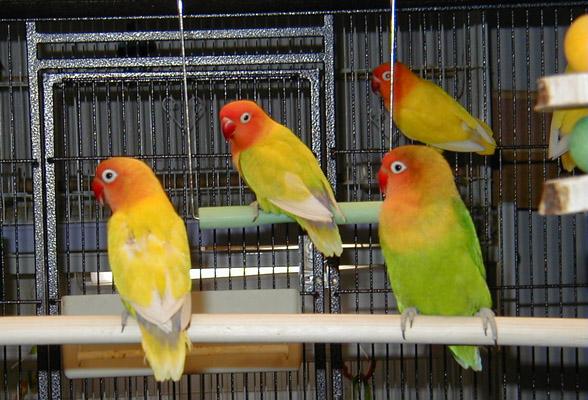 agropreneurship cara merawat lovebird