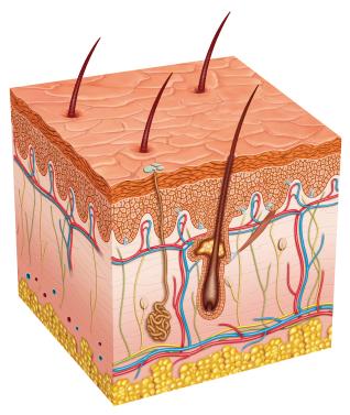 Epidermis, dermis y tejido subcutáneo