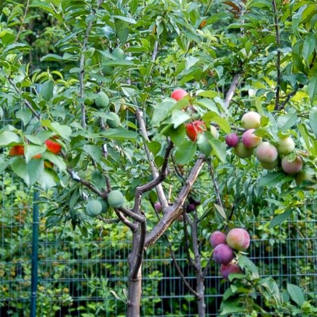 TABOCAS NOTICIAS  ITABUNA  BAHIA Árvore hibrida produz mais de 40
