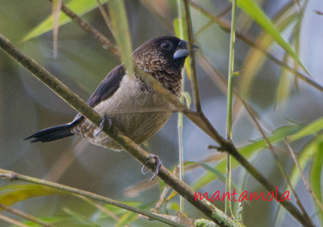 White Rump Munia