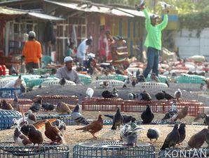 Cara Sederhana Memelihara Burung Merpati Maupun Cara Beternak Burung ...
