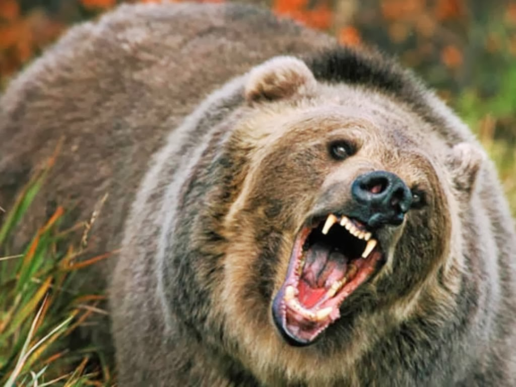 Image result for angry bear