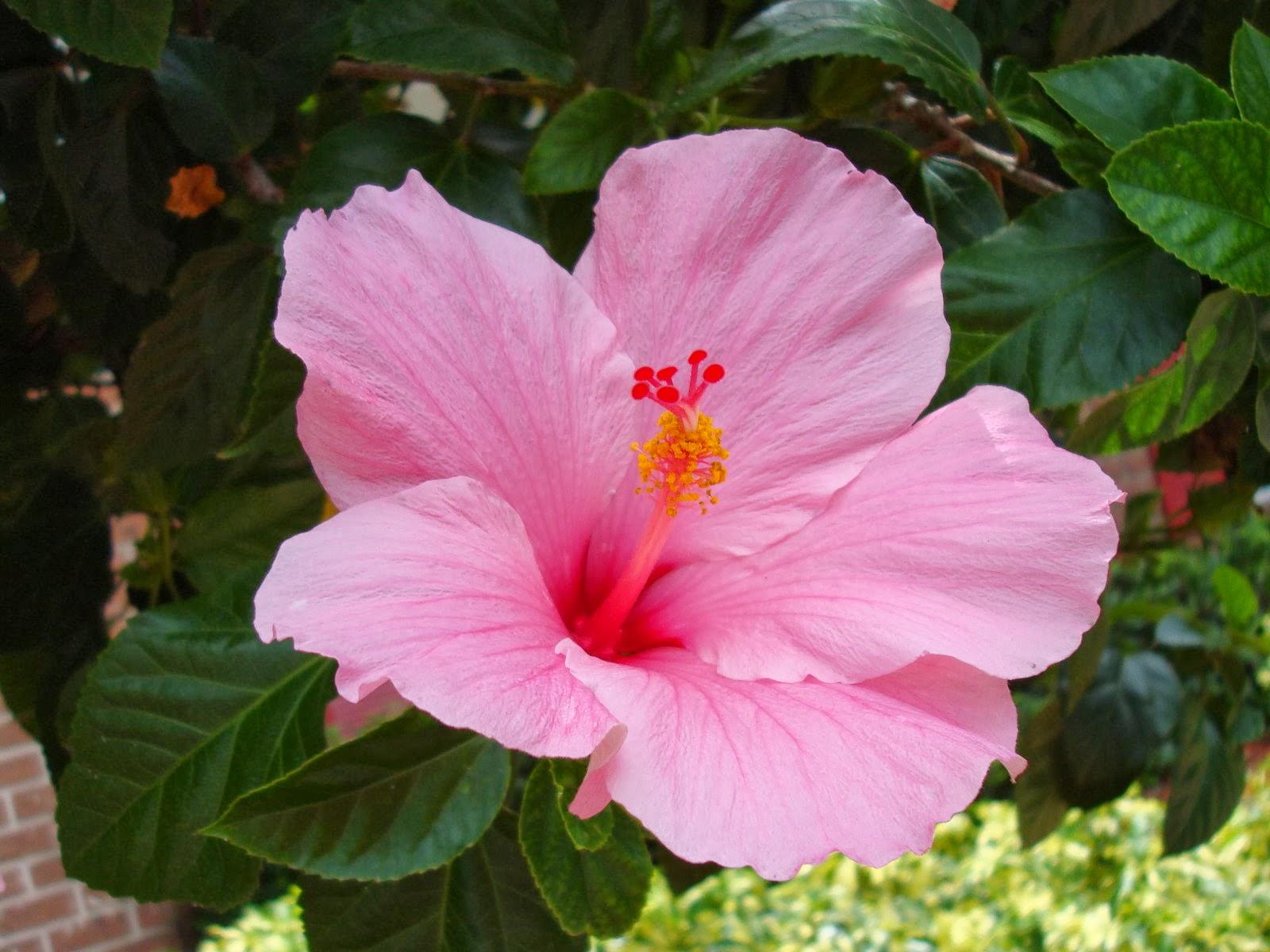 Китайское растение цветок
