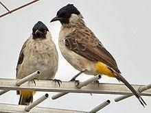 Gambar Cara Merawat Burung Kutilang Sumatera