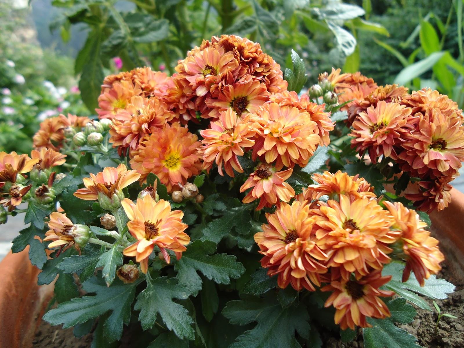 La biosfera de lola las ltimas flores de mi jardin - Los jardines de lola ...